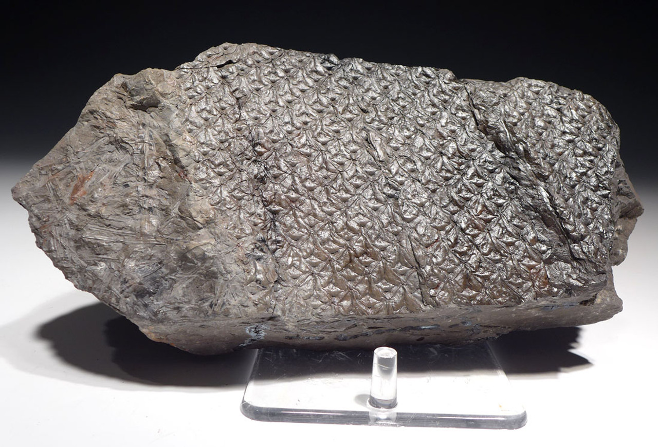 PL097 - LARGE LEPIDODENDRON CARBONIFEROUS PLANT FOSSIL WITH LEAF IMPRESSIONS