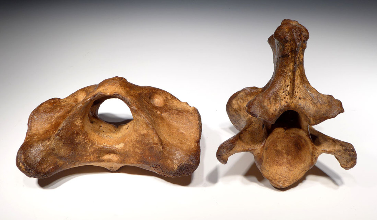 LMX111 - COMPLETE INTACT AUROCHS FOSSIL AXIS AND ATLAS VERTEBRAE SET FROM THE SAME ANIMAL IN THE FINEST PRESERVATION
