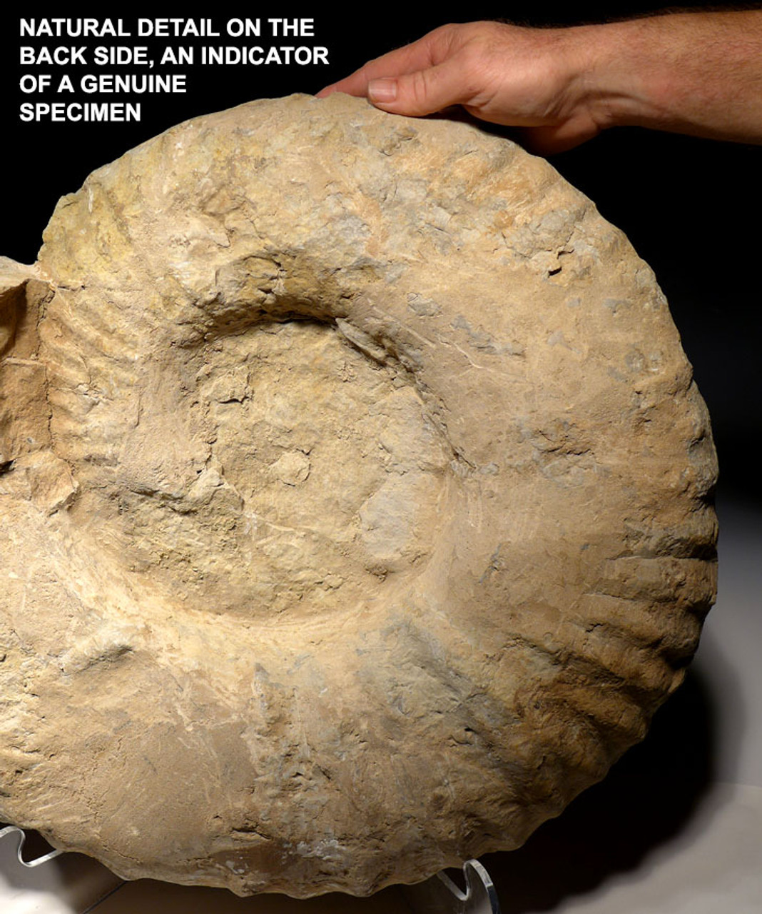 AMX342 - OUR LARGEST EVER 25+ INCH MONSTROUS CRETACEOUS AMMONITE OCEAN FOSSIL