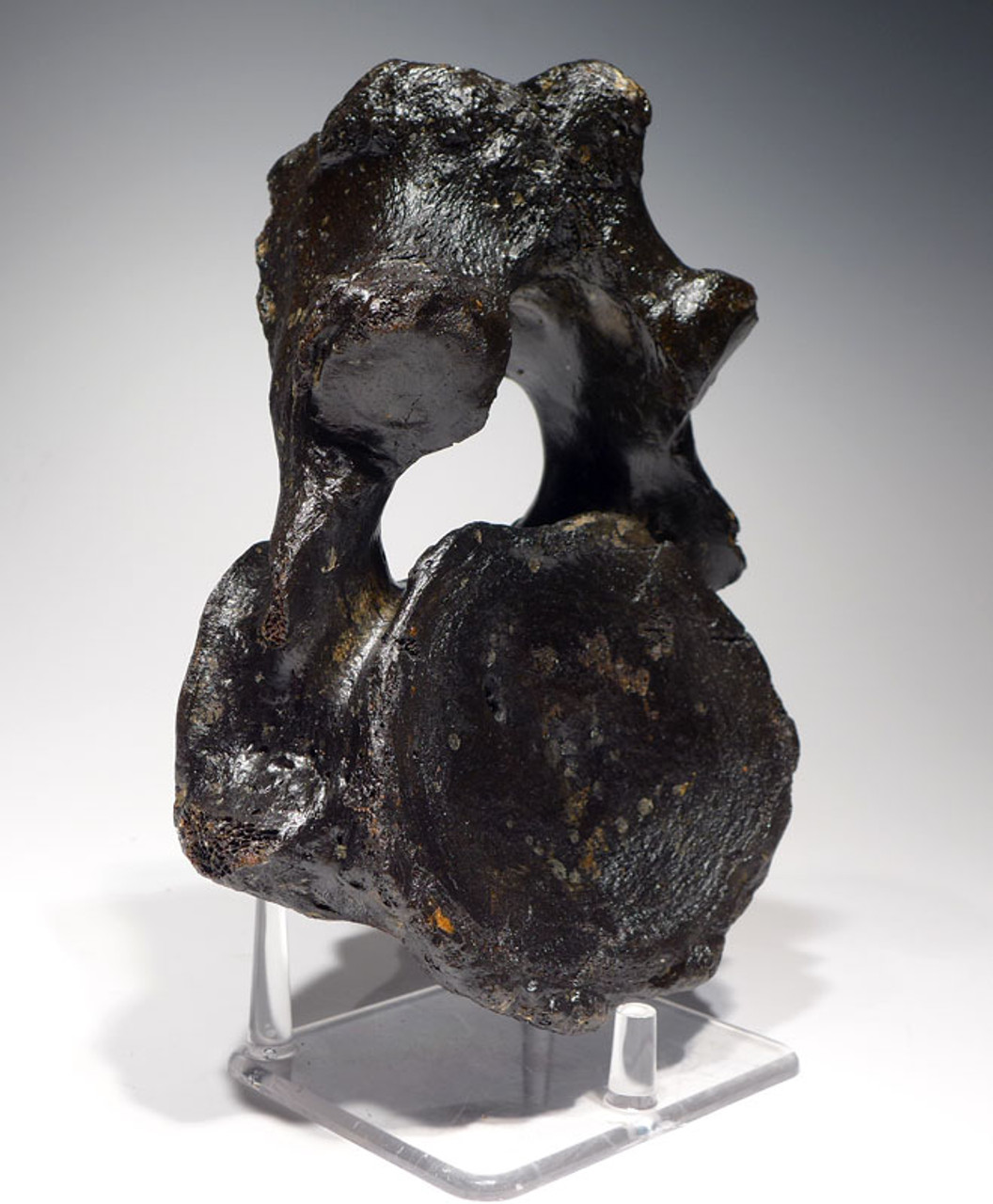 LMX122 - INTACT WOOLLY MAMMOTH AXIS NECK VERTEBRA WITH SUPREME PRESERVATION