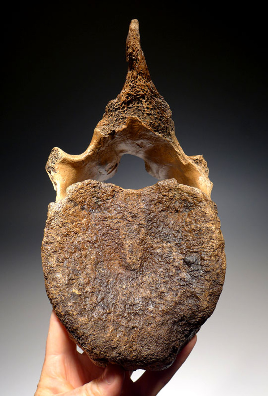 LMX119 - INTACT WOOLLY MAMMOTH THORACIC VERTEBRA WITH DORSAL PROCESS