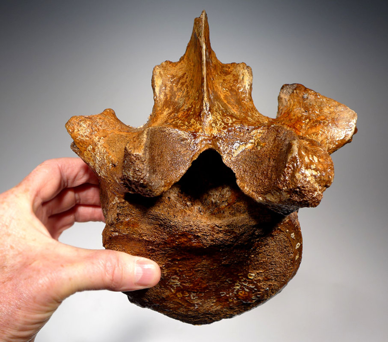 LMX121 - INTACT WOOLLY MAMMOTH CERVICAL NECK VERTEBRA WITH DORSAL PROCESS