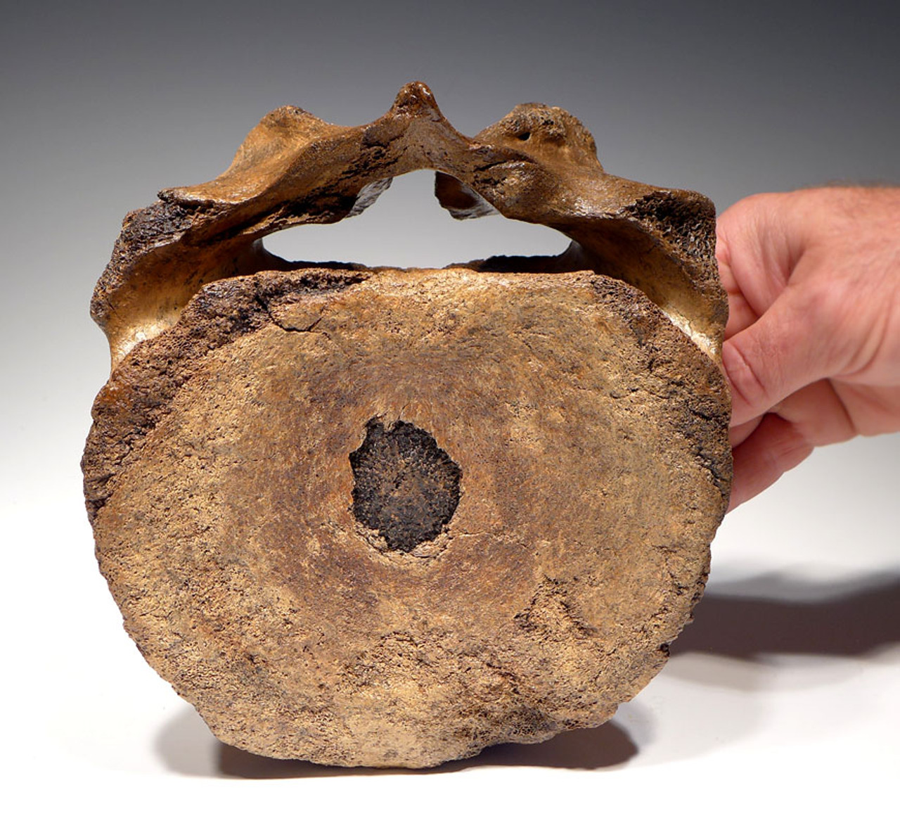 LMX120 - INTACT LARGE WOOLLY MAMMOTH CERVICAL NECK VERTEBRA WITH DORSAL PROCESS