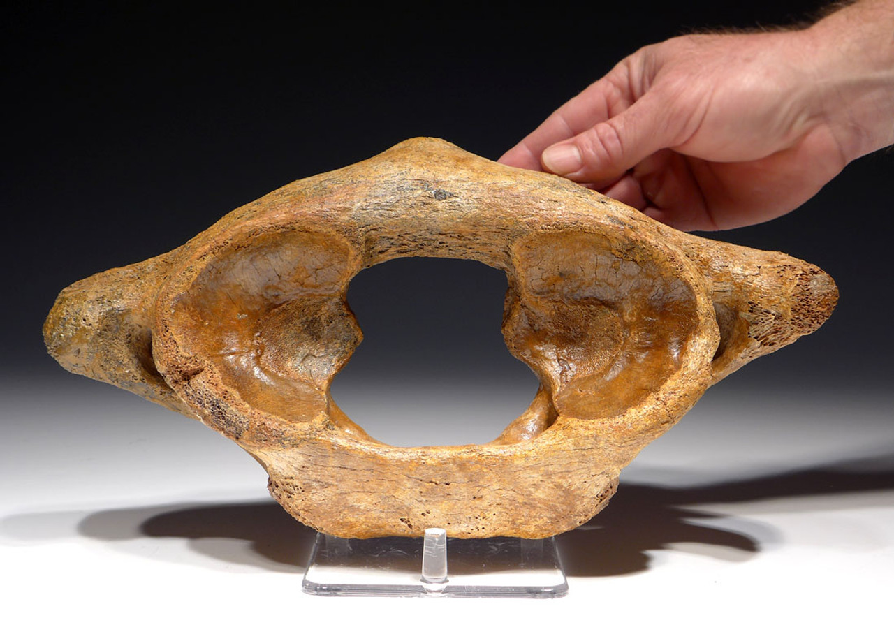 LMX115 - WOOLLY MAMMOTH ATLAS NECK VERTEBRA
