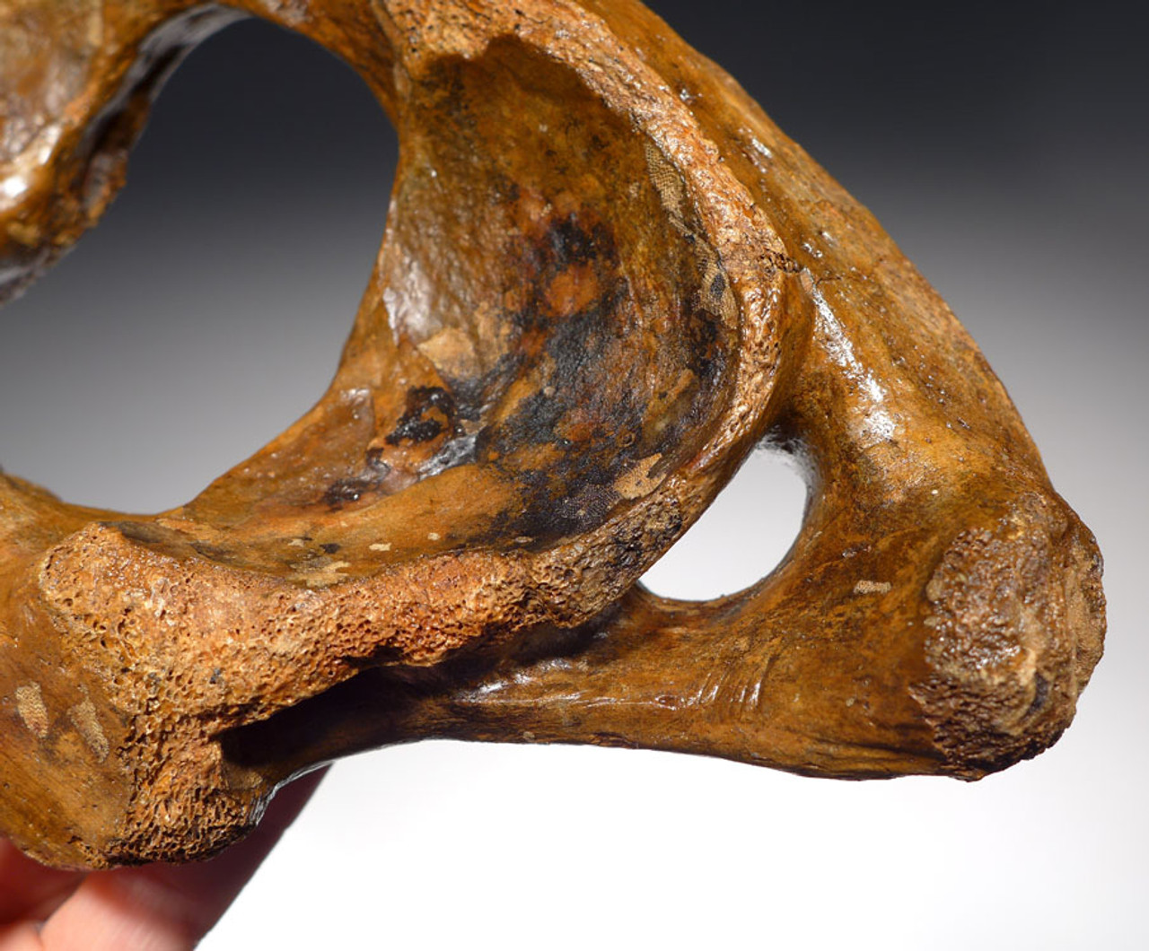 LMX116 - INTACT WOOLLY MAMMOTH ATLAS NECK VERTEBRA WITH FINE PRESERVATION