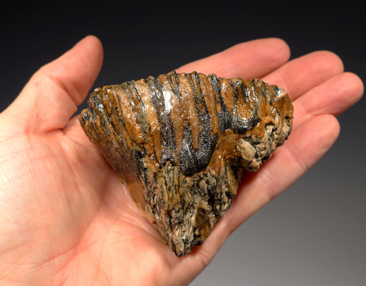 LMX131 - BABY WOOLLY MAMMOTH UPPER TOOTH FROM EUROPE