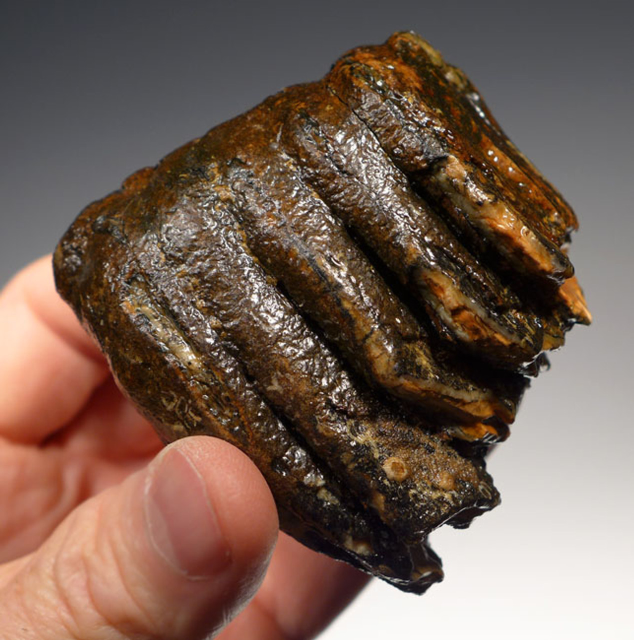 LMX133 - BABY WOOLLY MAMMOTH UNERUPTED LOWER TOOTH FROM EUROPE