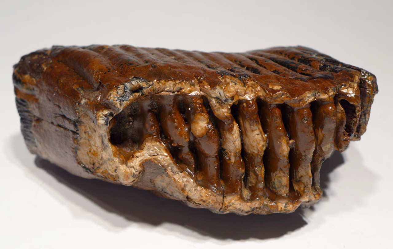 LMX127 - SUPREME GRADE WOOLLY MAMMOTH UPPER TOOTH FROM EUROPE