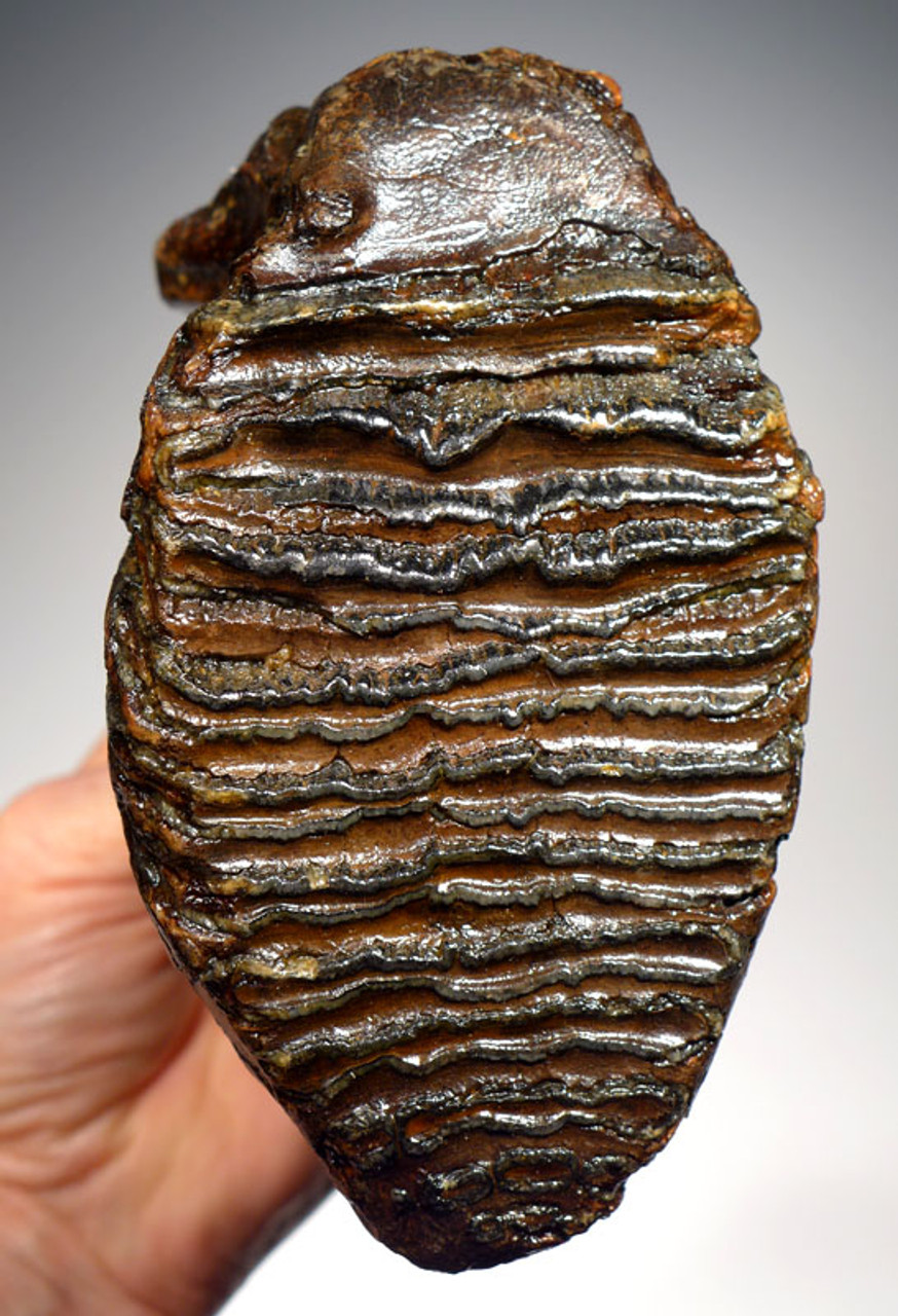LMX125 - SUPREME GRADE WOOLLY MAMMOTH UPPER TOOTH WITH UNBROKEN ROOTS FROM EUROPE