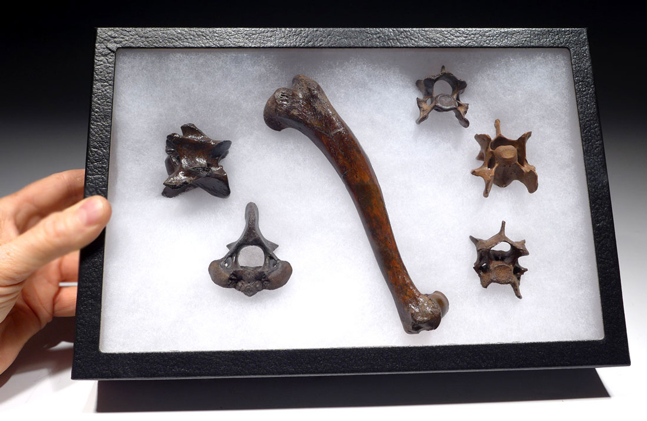 LMX123 - ICE AGE FOSSIL SET OF FIVE VERTEBRAE AND HUMERUS FROM A EUROPEAN GRAY WOLF