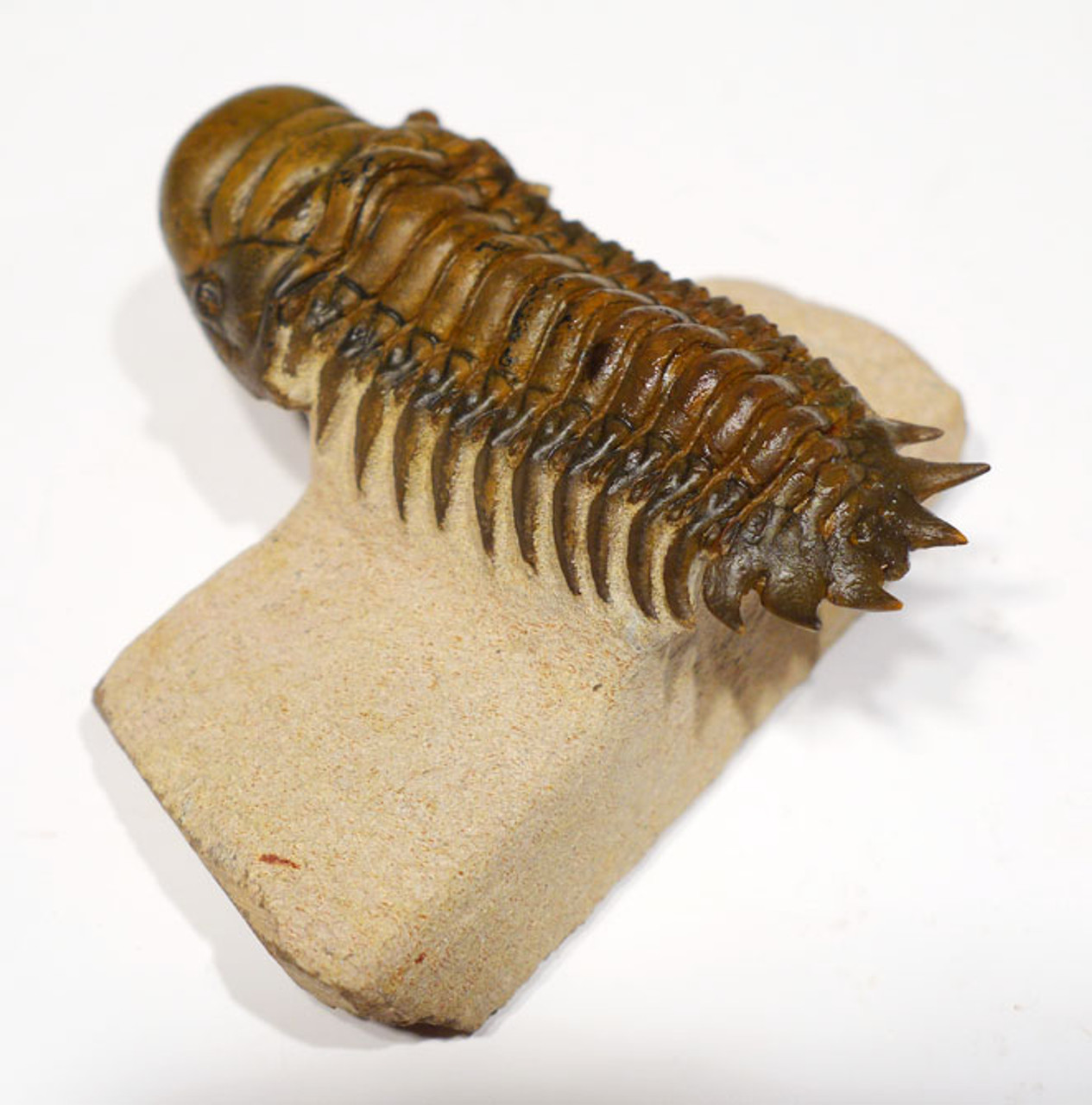 TRX351 - DARK GOLD CHEIRURUS CROTALOCEPHALUS TRILOBITE WITH EXPOSED MOUTH PARTS AND FREE-STANDING TAIL SPINES