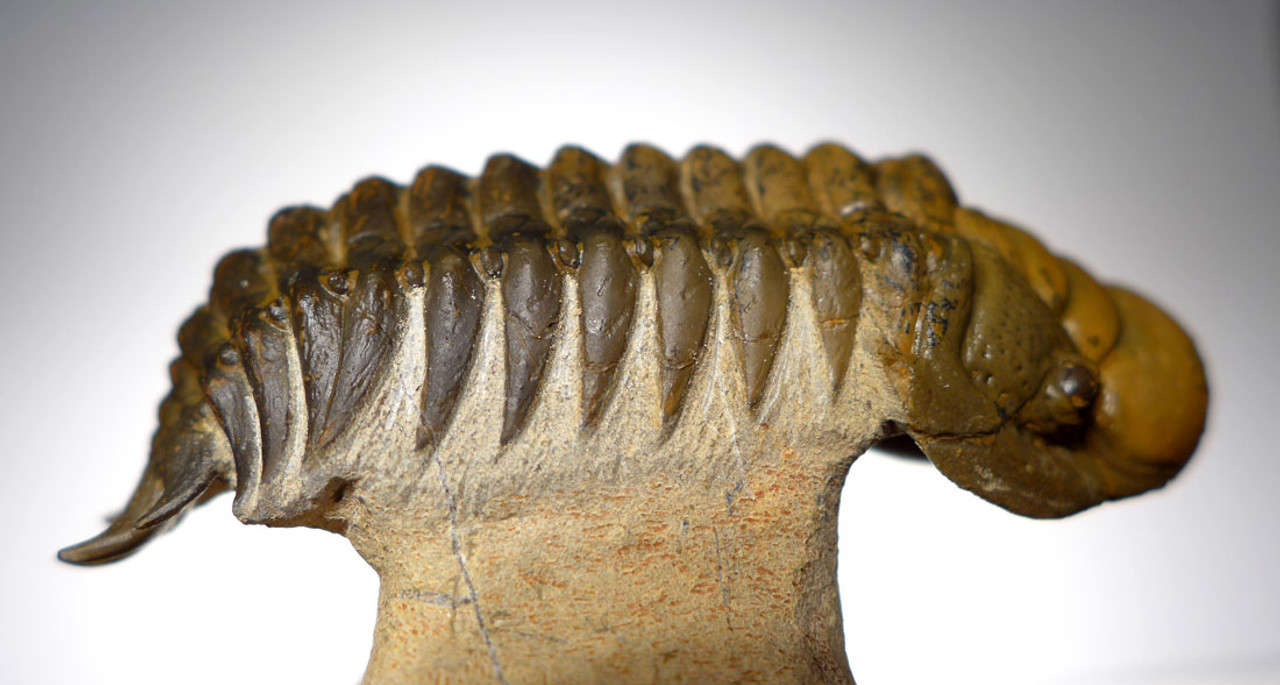 TRX347 - DARK GOLD CHEIRURUS CROTALOCEPHALUS TRILOBITE WITH EXPOSED MOUTH PARTS AND FREE-STANDING TAIL SPINES