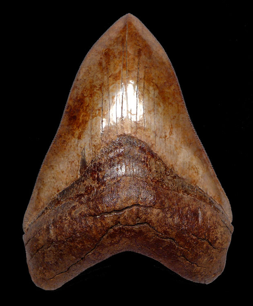 SH6-328 - FINEST COLLECTOR GRADE SPOTTED COPPER RED AND CREAM 4.85 INCH MEGALODON SHARK TOOTH