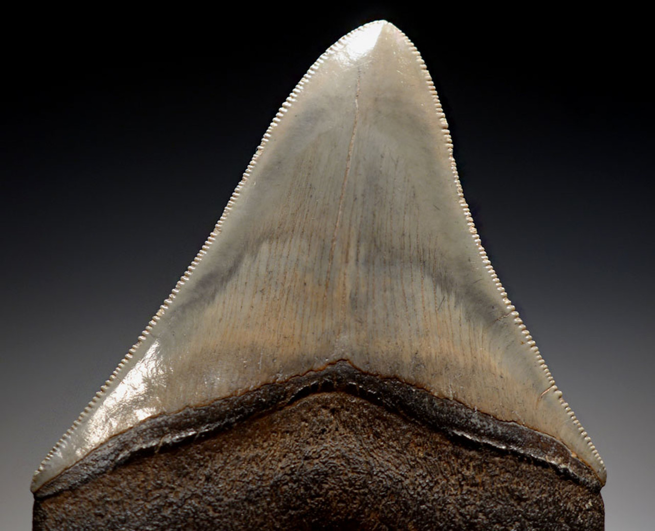 SH6-332 - FINEST GRADE 3.6 INCH MEGALODON SHARK TOOTH WITH THUNDER CLOUDS ENAMEL PATTERNS