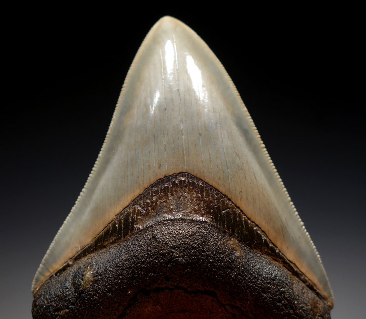 SH6-331 - FINEST GRADE 3.8 INCH MEGALODON SHARK TOOTH WITH COLORFUL ENAMEL