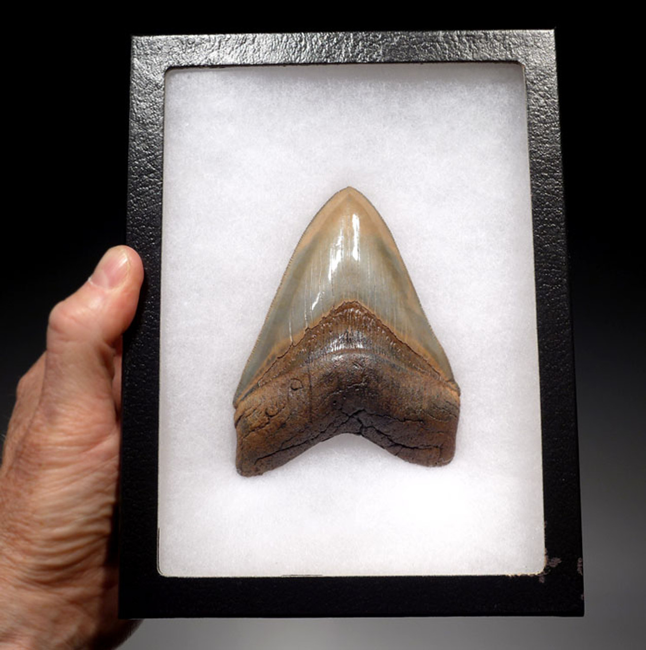 SH6-330 - FINEST GRADE 4.7 INCH MEGALODON TOOTH WITH LIGHT GOLD AND BLUE-GRAY ENAMEL
