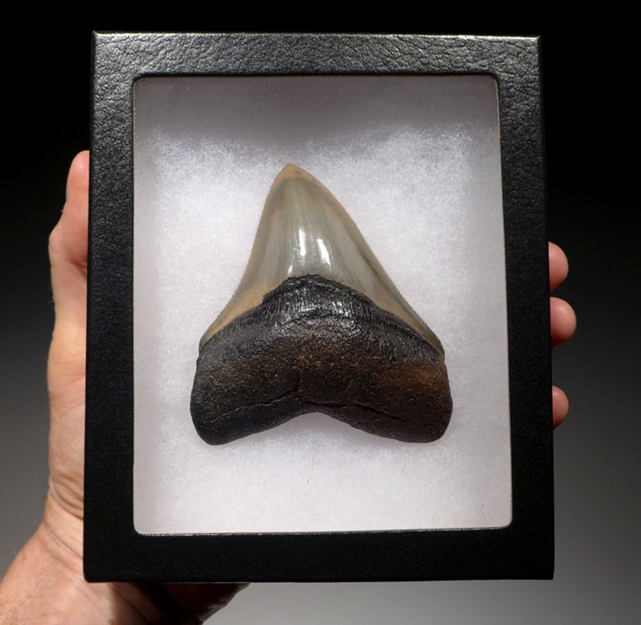 SH6-325 - FINEST GRADE 3.8 INCH MEGALODON SHARK TOOTH WITH STUNNING PRESERVATION