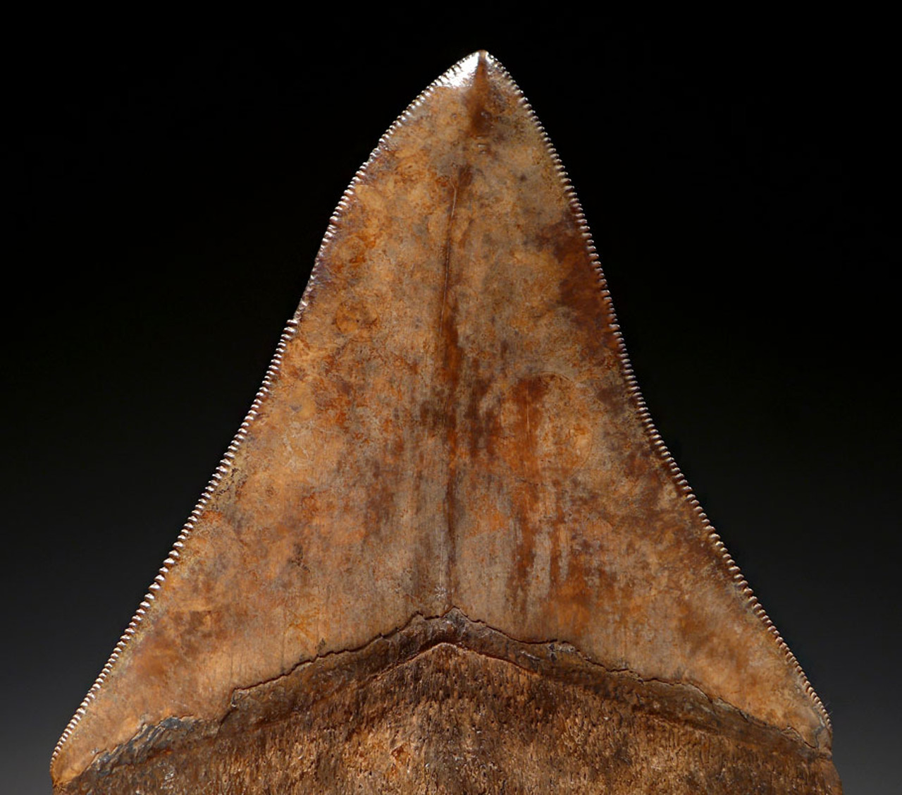 SH6-326 - COLLECTOR GRADE 4.4 INCH MEGALODON SHARK TOOTH WITH STUNNING MOTTLED COPPER ENAMEL