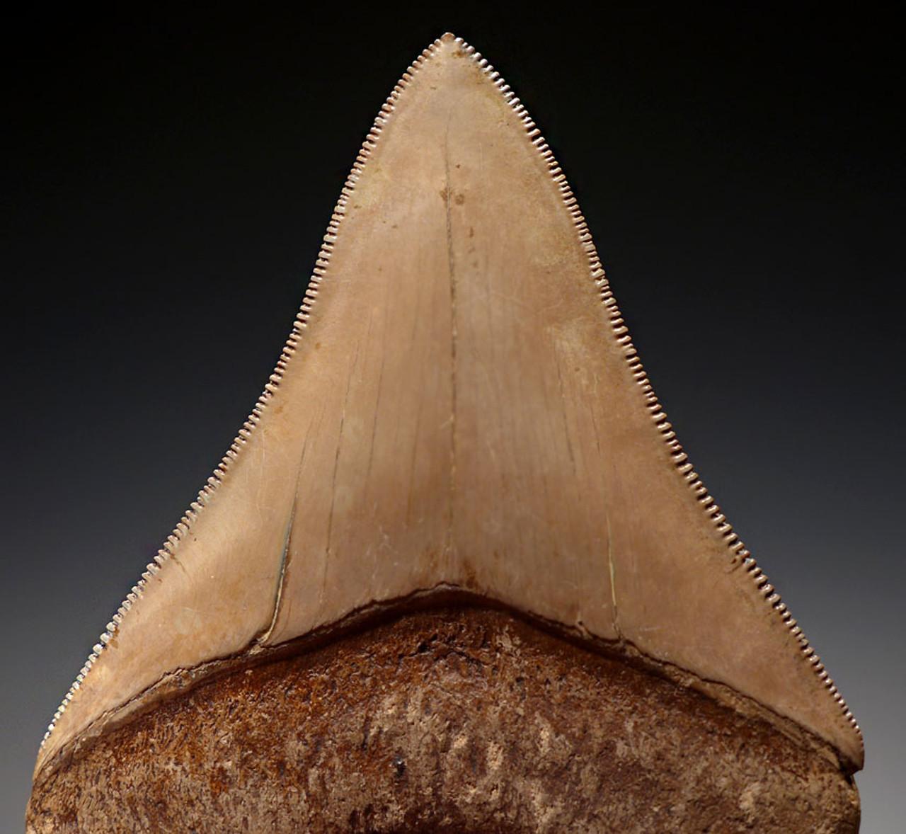 SH6-324 - FINEST GRADE 3.5 INCH MOTTLED IVORY MEGALODON SHARK TOOTH