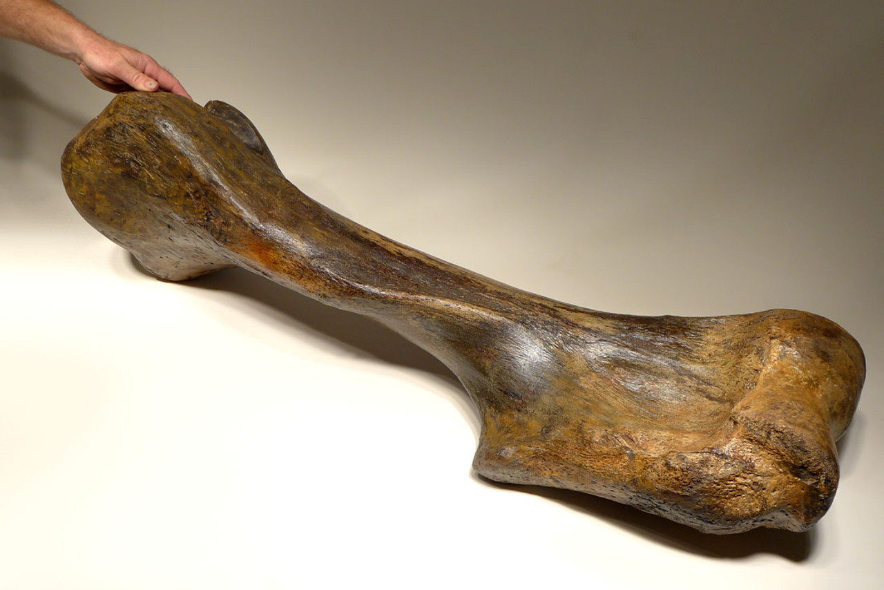 LMX134 - MASSIVE COMPLETE WOOLLY MAMMOTH HUMERUS UPPER ARM BONE WITH RARE PRESERVATION
