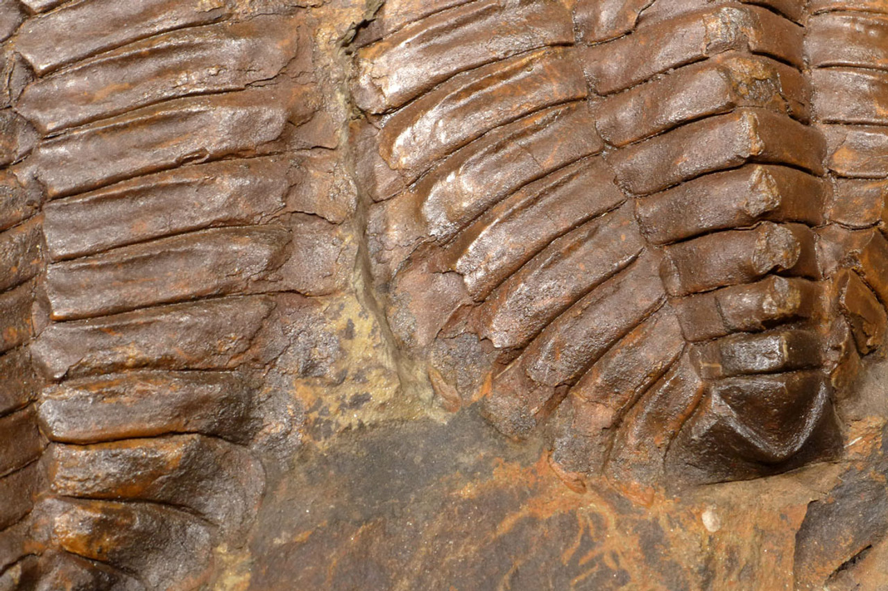 TRX363 - NATURAL DOUBLE CAMBROPALLAS TRILOBITE FOSSIL FROM THE CAMBRIAN PERIOD