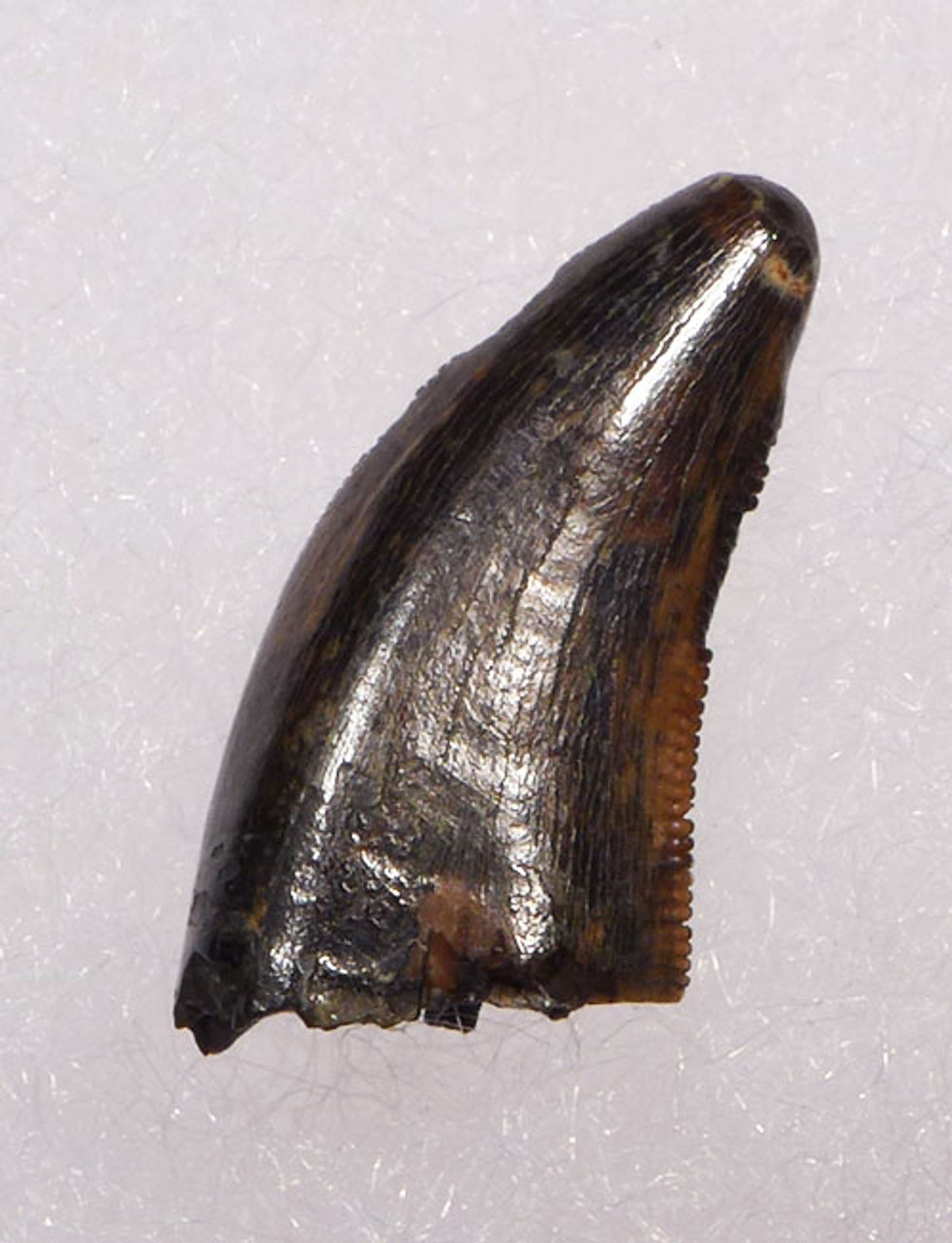 "DT6-228 - COMPLETE DROMAEOSAURUS ""RAPTOR"" DINOSAUR TOOTH FROM HELL CREEK"