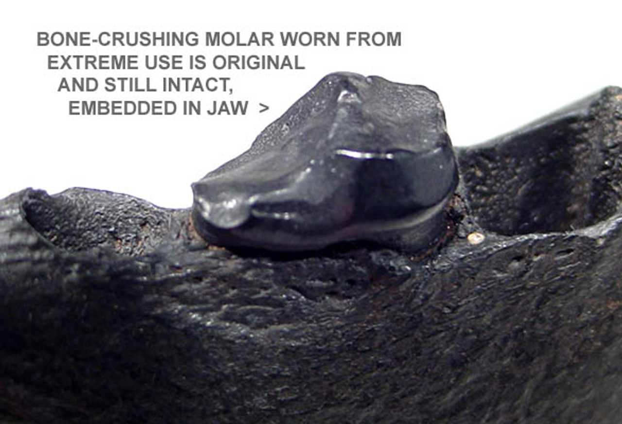 """LM43-002 - EXTREMELY RARE  AMPHICYON """"BONE-CRUSHING BEAR-DOG"""" JAW WITH INTACT CRUSHING MOLAR TOOTH"""