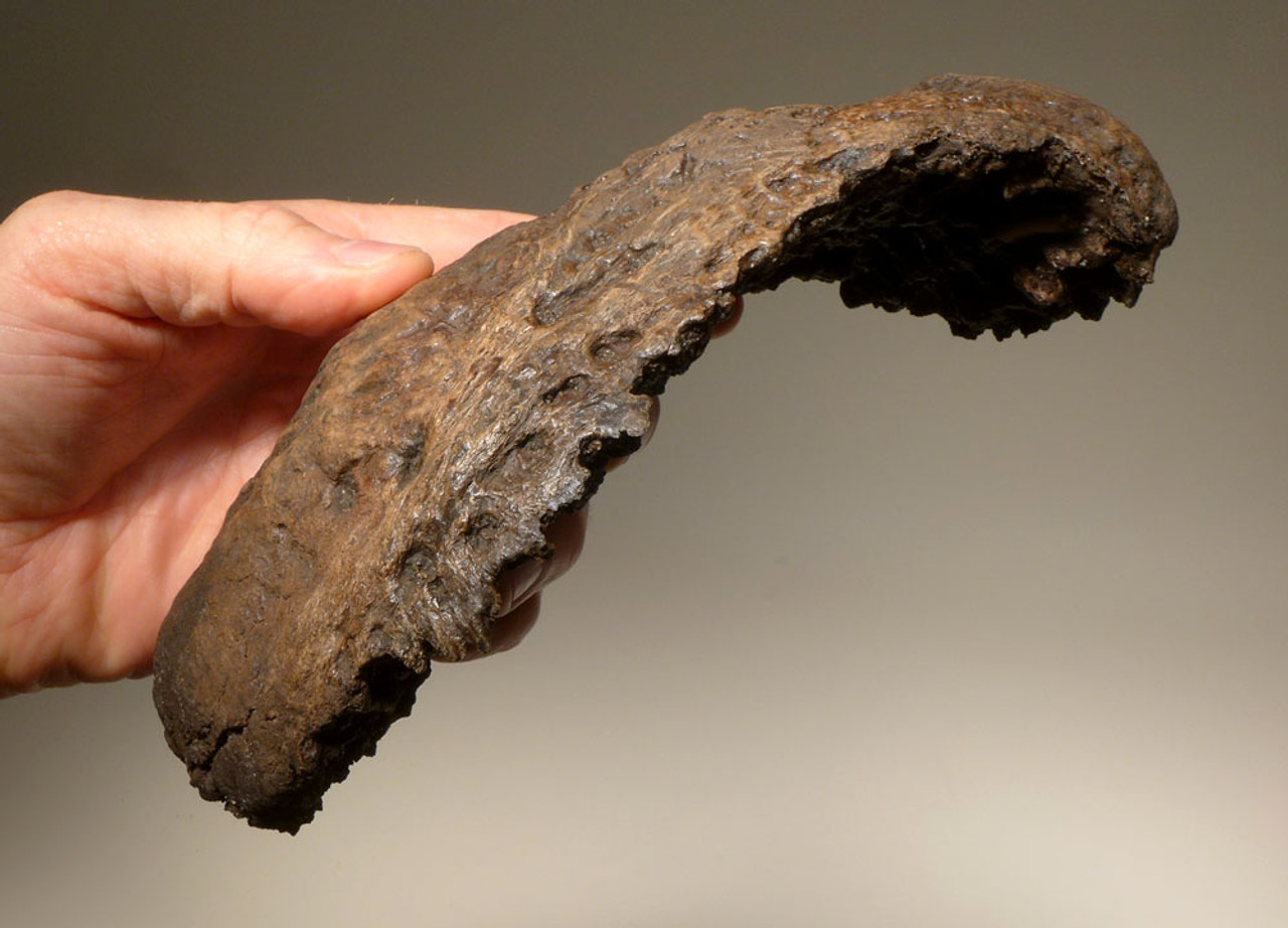 LMX135 - RAREST WOOLLY MAMMOTH COMPLETE ULNA LOWER ARM FOSSIL BONE WITH BOTH ORIGINAL UNOSSIFIED JOINTS