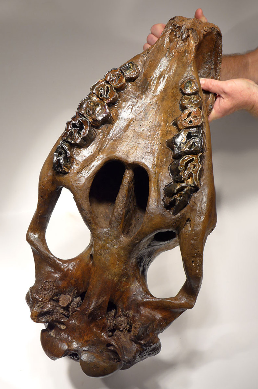 LM12-F4 - SPECTACULAR COMPLETE WOOLLY RHINOCEROS SKULL FOSSIL FROM GERMANY
