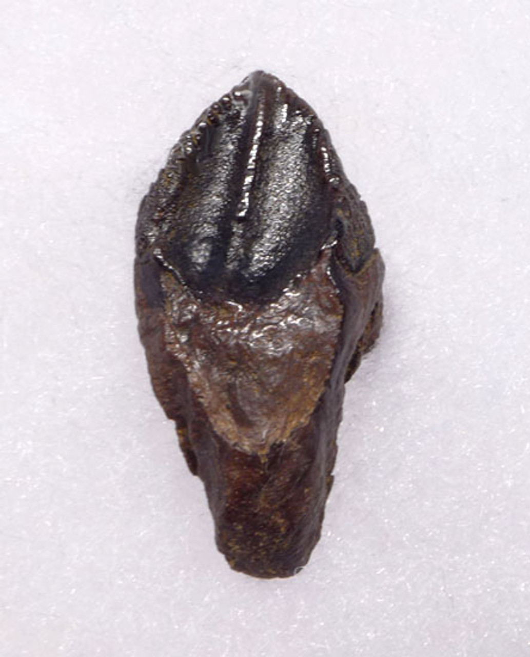 DT19-043 - PERFECT AND COMPLETE  SUB-ADULT TRICERATOPS TOOTH WITH UNWORN FULL CROWN AND ROOT