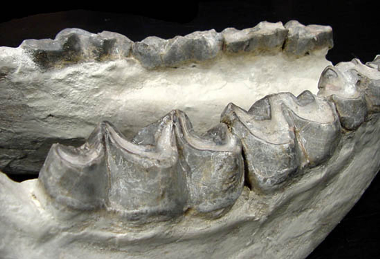 LM1003  - FOSSIL BRONTOTHERIUM FULL LOWER JAW WITH TEETH