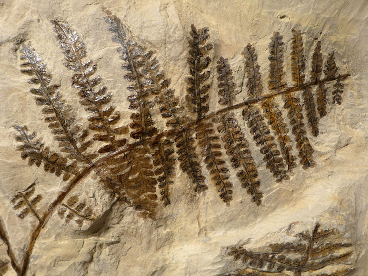PLXX001 - LARGE, MUSEUM-CLASS RARE COMPLETE PREHISTORIC GIANT TREE FERN BRANCH WITH ALL FRONDS INTACT FROM THE PERMIAN PERIOD