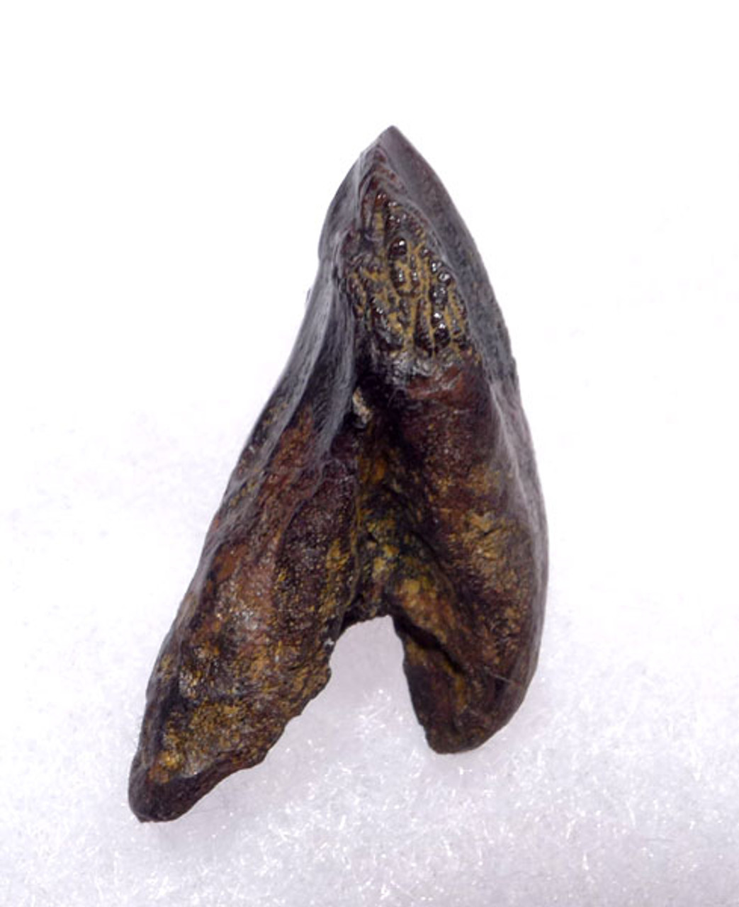 DT19-045 - PERFECT AND COMPLETE  SUB-ADULT TRICERATOPS TOOTH WITH UNWORN FULL CROWN AND ROOT
