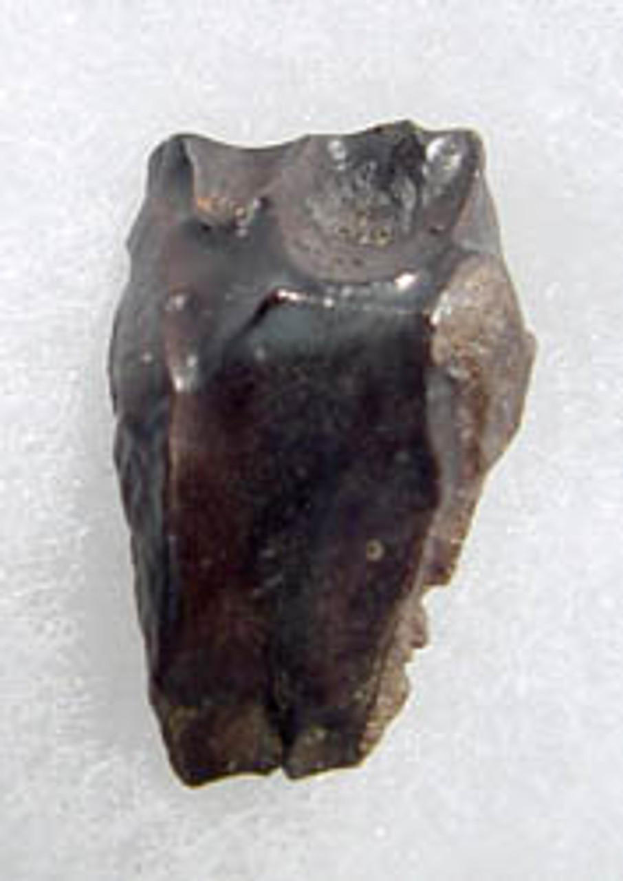 TRICERATOPS DINOSAUR TOOTH FOSSIL *DT19