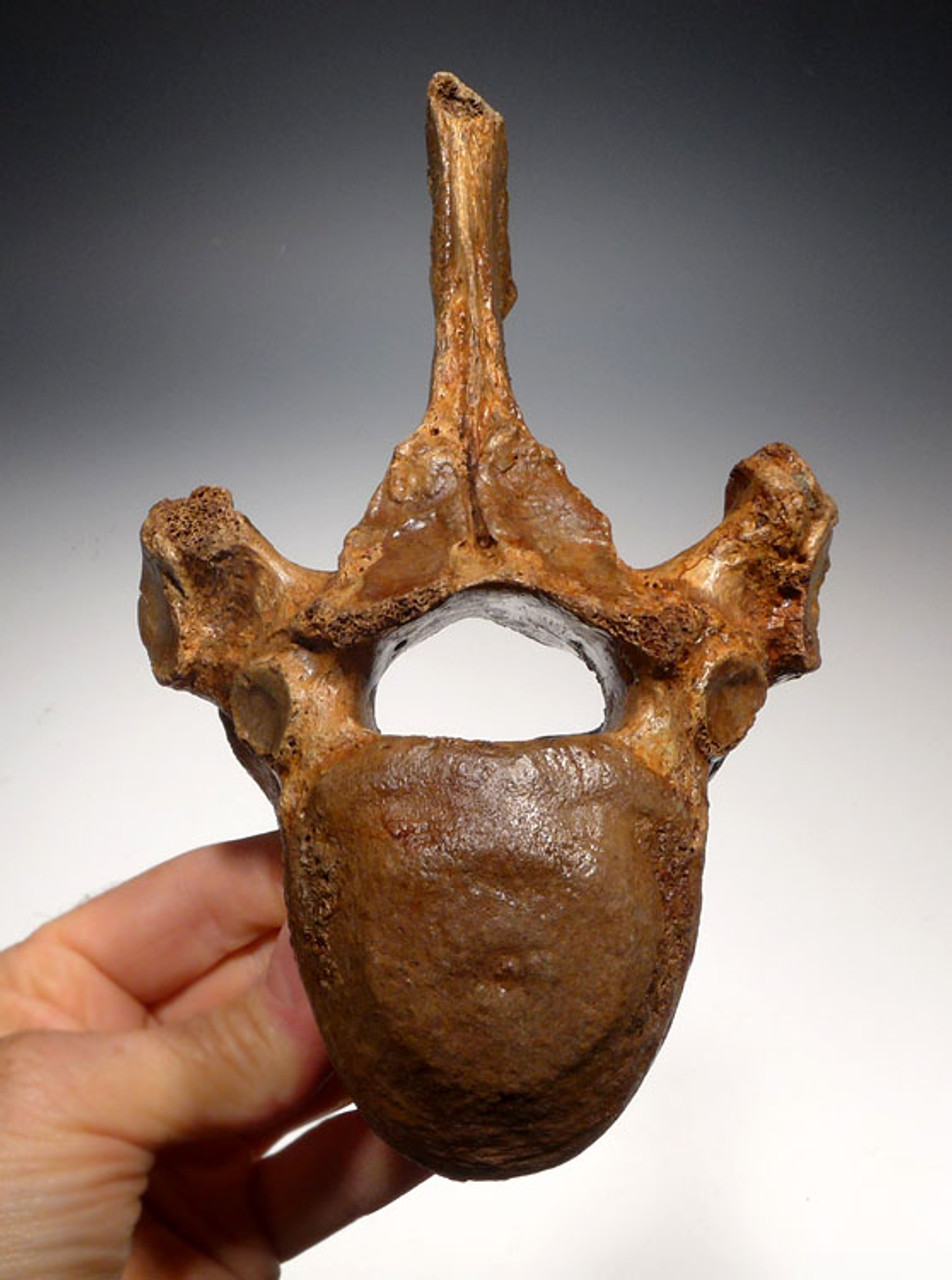 LMX150 - FOSSIL WOOLLY RHINOCEROS LOWER THORACIC VERTEBRA