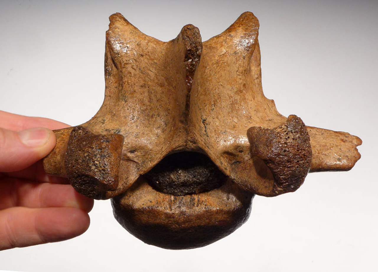 LMX152 - RARE GIANT DEER MEGALOCEROS LUMBAR VERTEBRA WITH SEDIMENT FILLED NEURAL CANAL