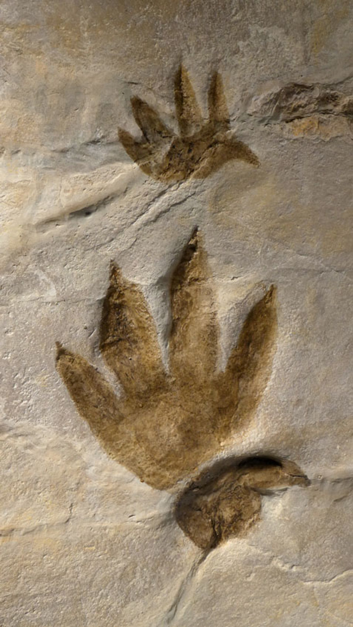 FP001 - EXTREMELY RARE CHIROTHERIUM TRIASSIC FOSSIL TRACKS WITH HAND PRINT AND FOOTPRINT IMPRESSIONS