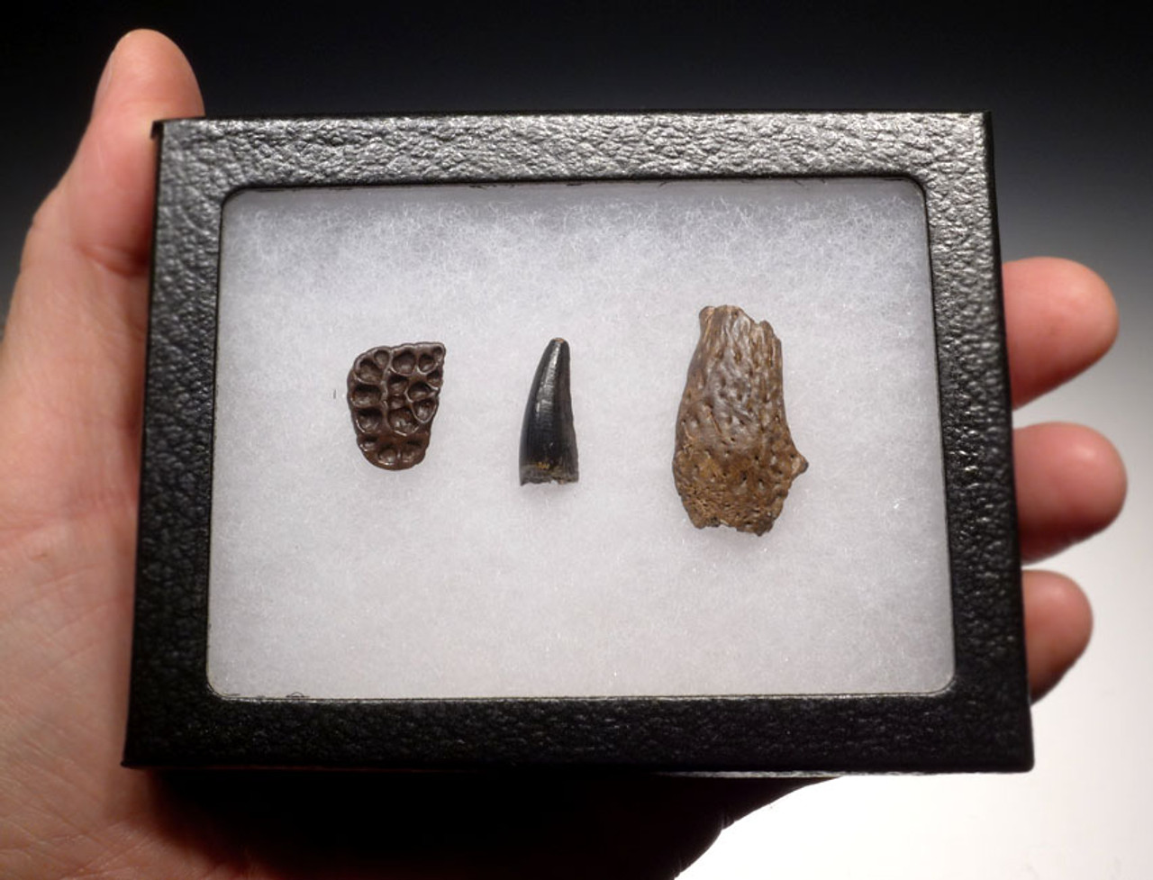 CROC040 - DINOSAUR-ERA LEIDYOSUCHUS CROCODILE TOOTH WITH PARTIAL JAW AND ARMOR PLATE SCUTE
