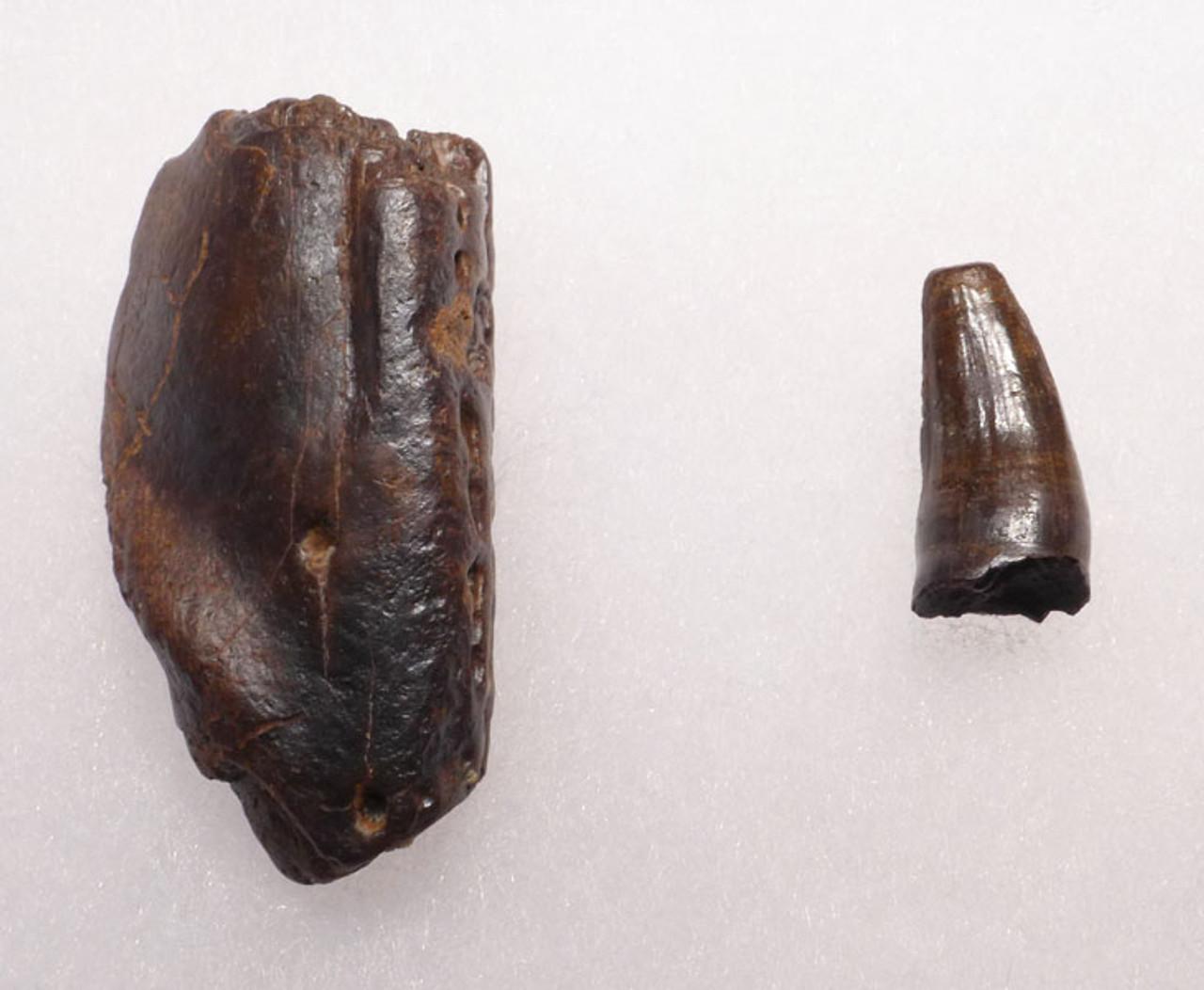 CROC037 - DINOSAUR-ERA LEIDYOSUCHUS CROCODILE TOOTH WITH PORTION OF MANDIBLE JAW