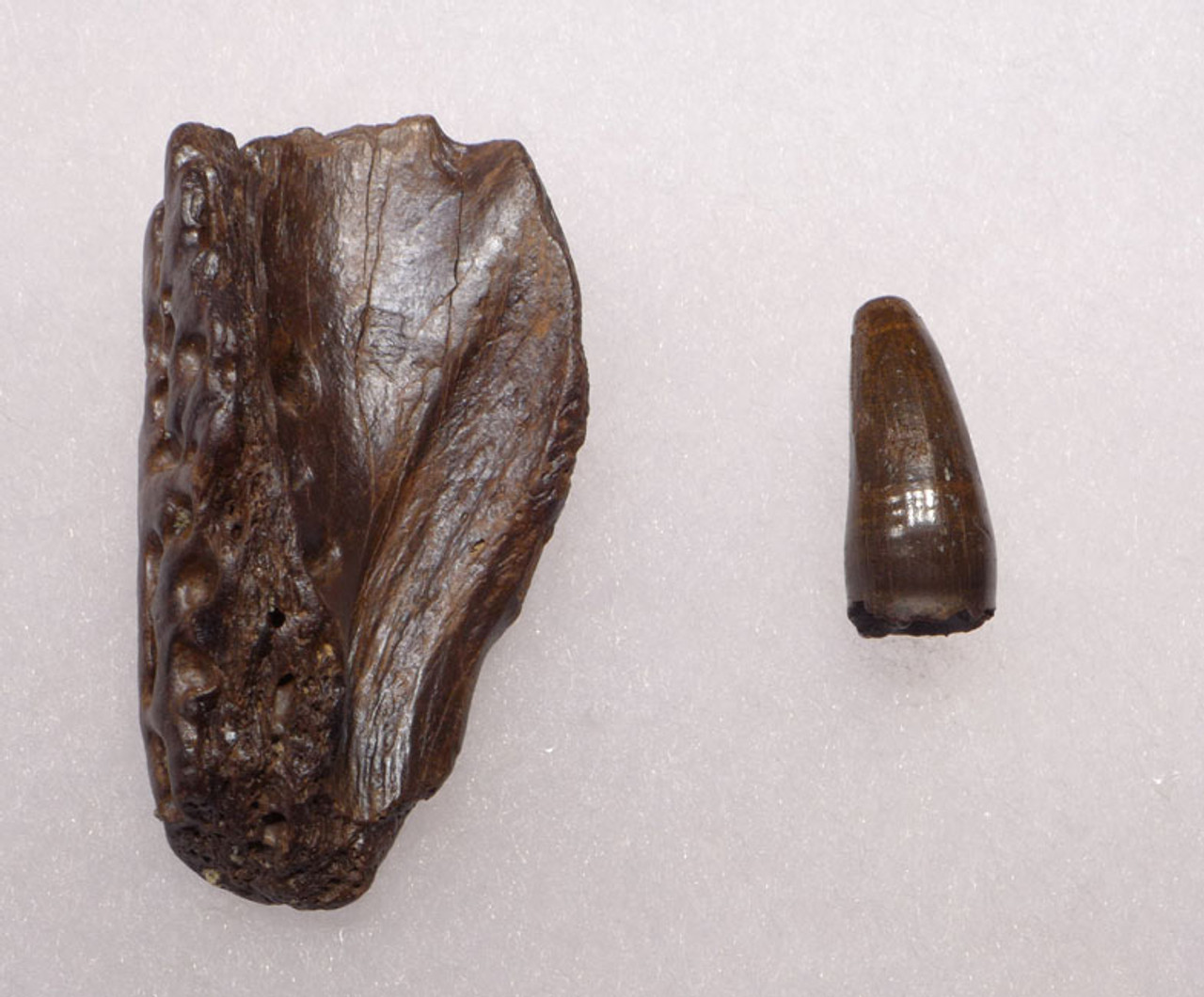 CROC037 - DINOSAUR-ERA LEIDYOSUCHUS CROCODILE TOOTH WITH PORTION OF MANDIBLE JAW