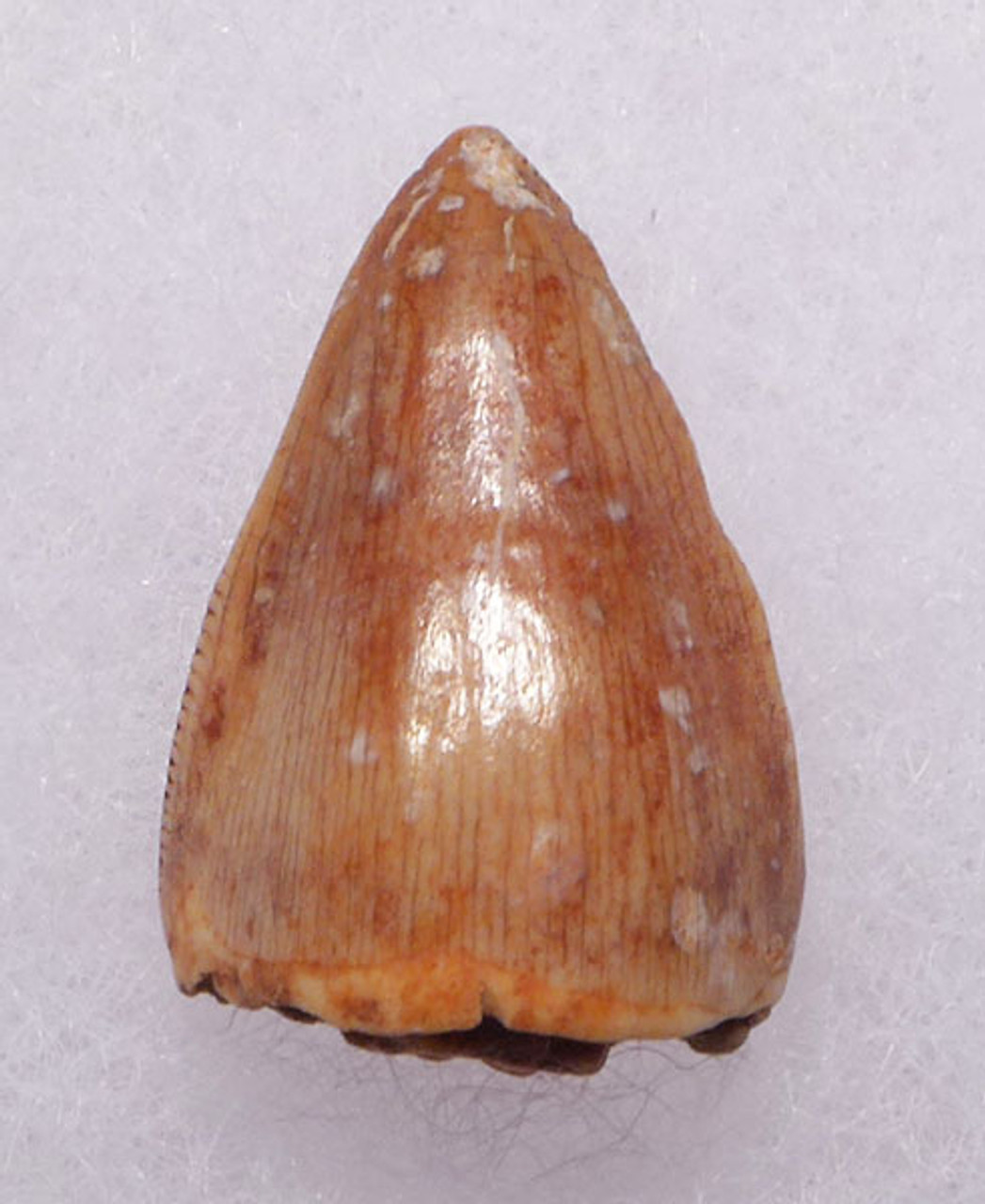 DT12-048 - TRIASSIC-ERA RUTIODON PHYTOSAUR LATERAL TOOTH IN FINEST PRESERVATION