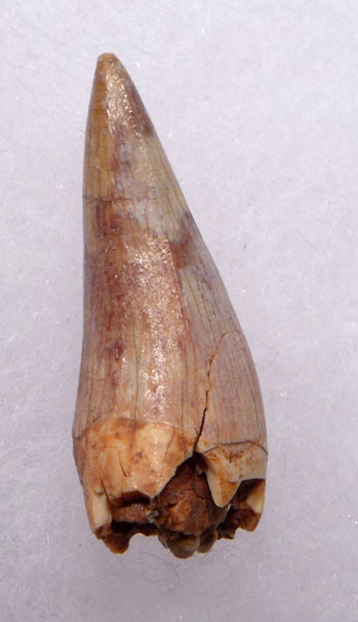 DT12-045 - COLORFUL TRIASSIC-ERA RUTIODON PHYTOSAUR FANG ANTERIOR TOOTH IN FINEST PRESERVATION