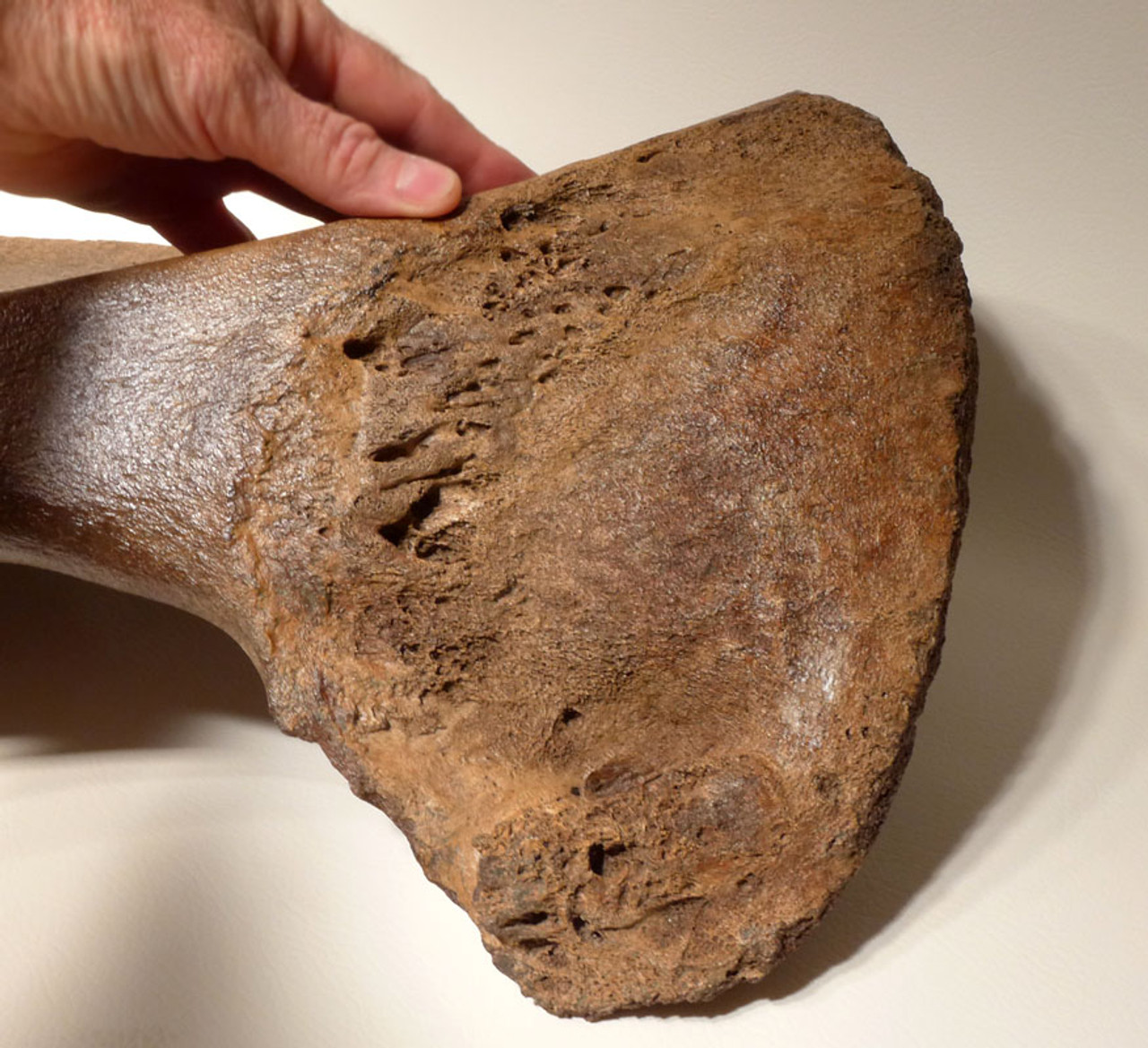 LMX159 - SUPER RARE COMPLETE WOOLLY MAMMOTH PELVIS HALF WITH THE FINEST PRESERVATION SEEN