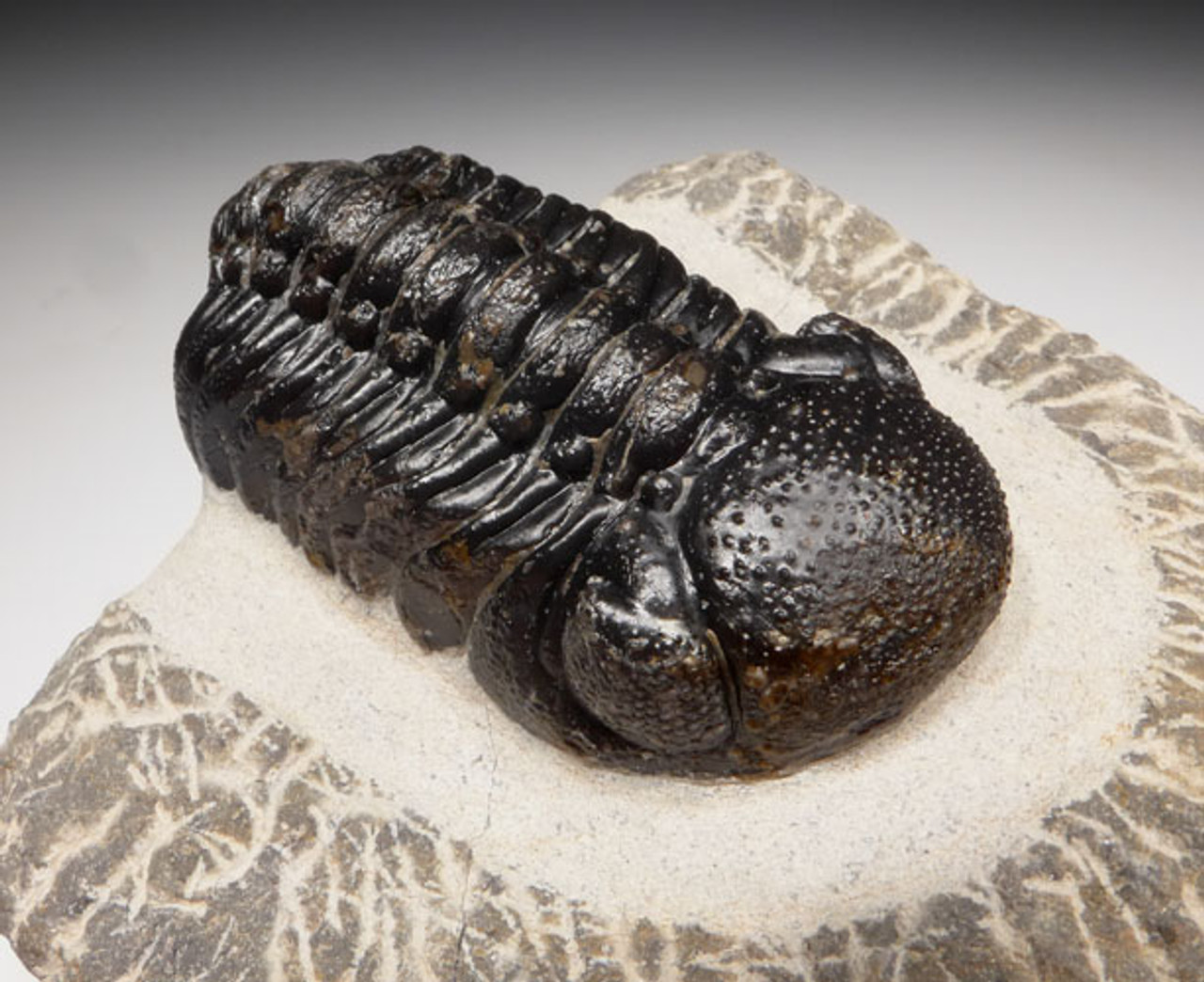 TRX384 - QUALITY PHACOPS TRILOBITE FOSSIL FROM THE DEVONIAN PERIOD