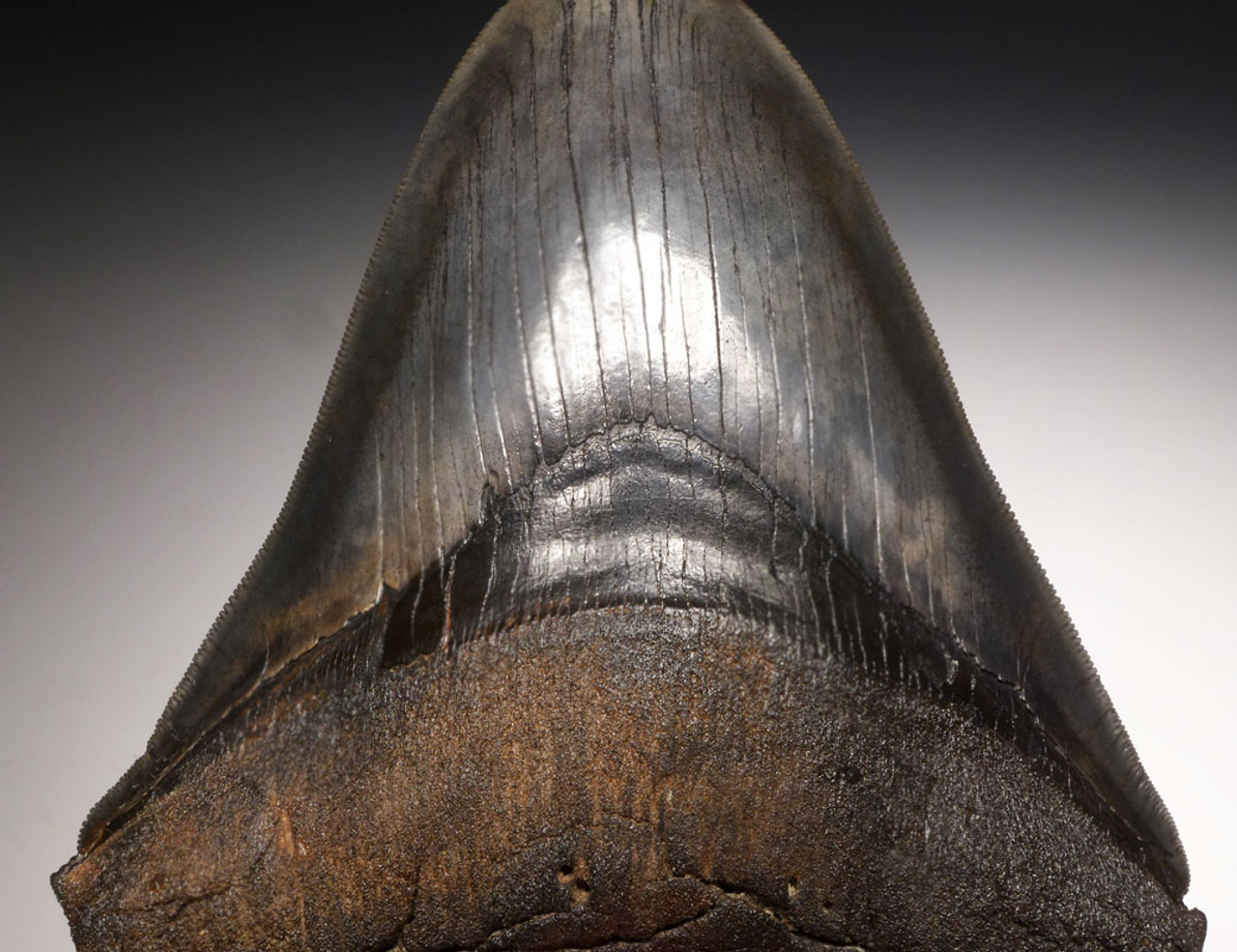 SH6-334 -  INVESTMENT CLASS 5.8 INCH MEGALODON SHARK TOOTH WITH SHARP SERRATIONS AND CHATOYANT ENAMEL
