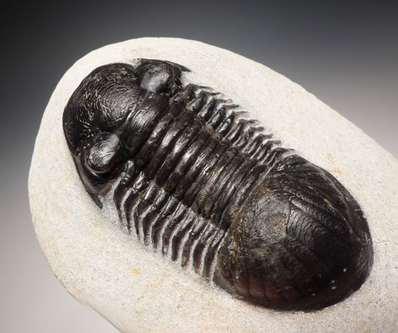 TRX395  - FINE QUALITY TYPE B PARALEJURUS DEVONIAN PERIOD TRILOBITE