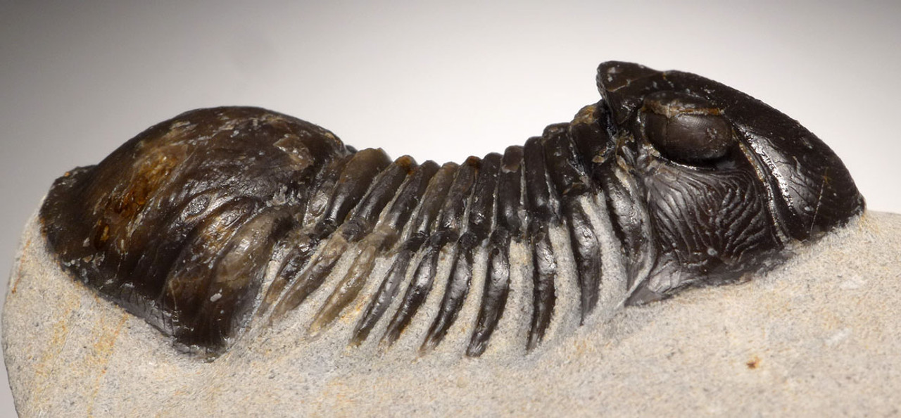 TRX409  - FINE QUALITY TYPE B PARALEJURUS DEVONIAN PERIOD TRILOBITE WITH EYE LENS DETAIL