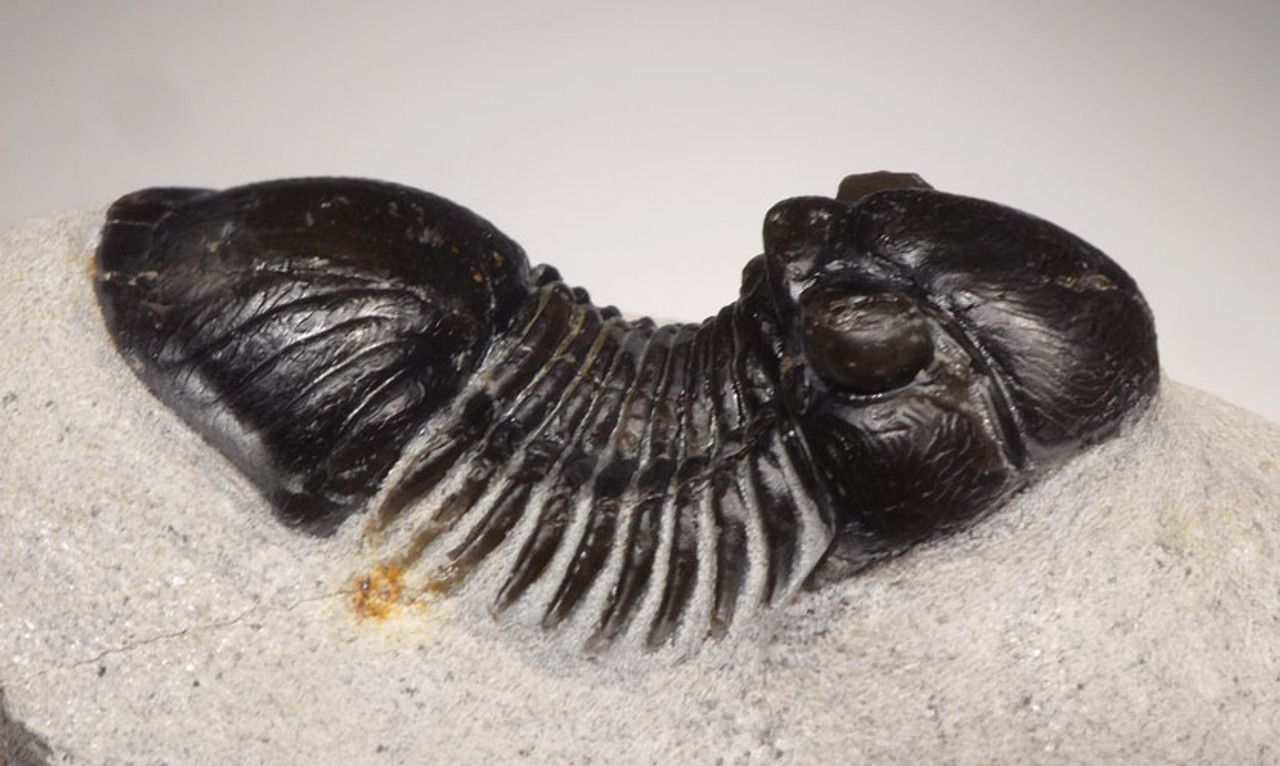 TRX396 - FINE QUALITY TYPE B PARALEJURUS DEVONIAN PERIOD TRILOBITE WITH COLOR