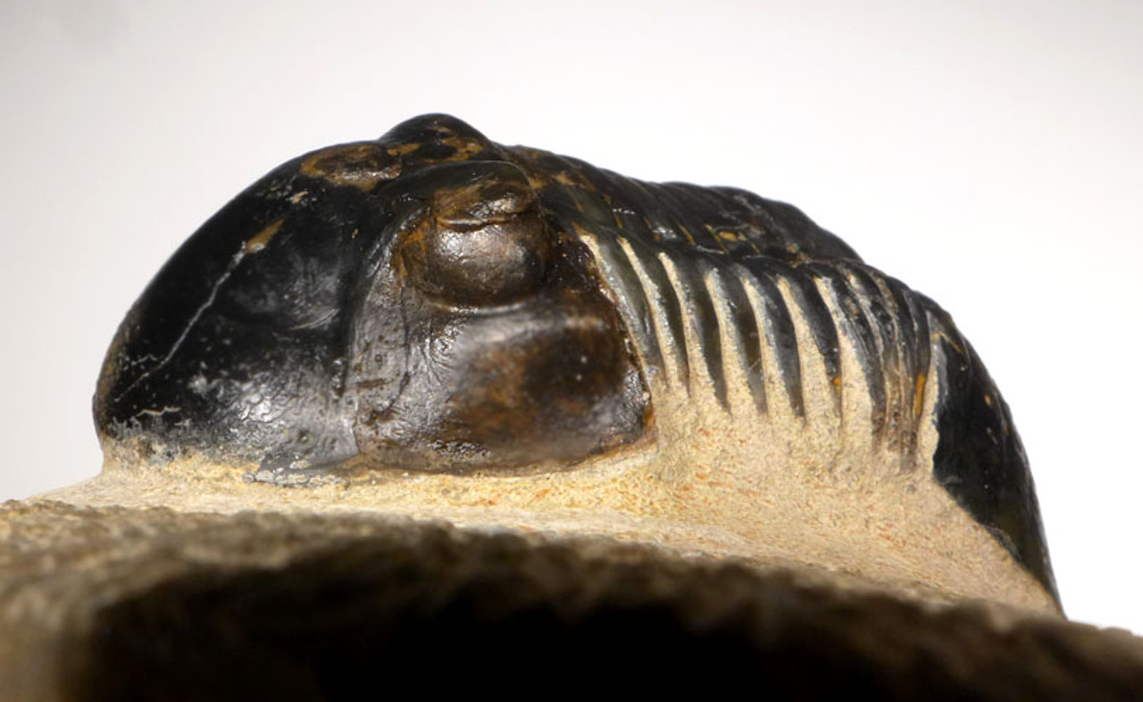 TRX404 - QUALITY LARGE PARALEJURUS TRILOBITE FROM THE DEVONIAN PERIOD