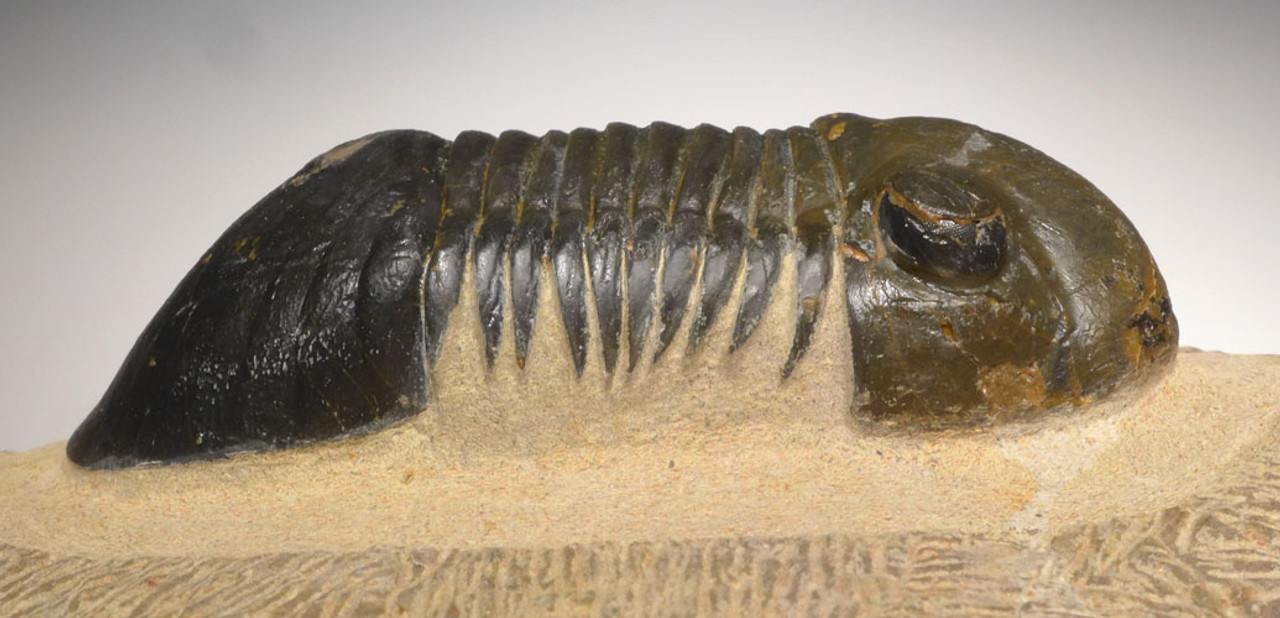 TRX401 - QUALITY LARGE PARALEJURUS TRILOBITE FROM THE DEVONIAN PERIOD